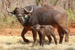 Buffalo Cows Stud