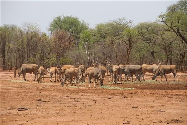 Livingstone Eland Stud Females