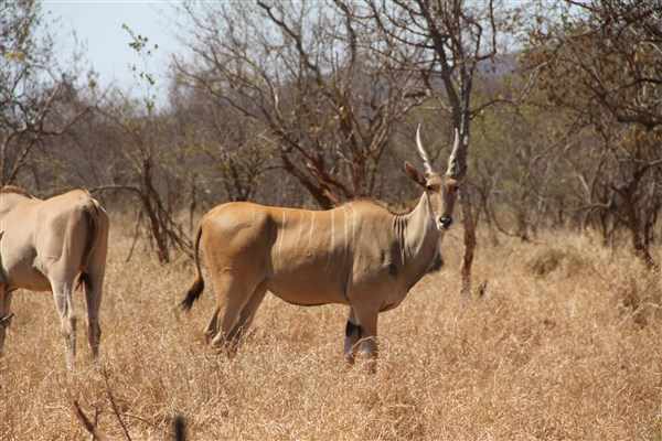 Livingstone Eland Stud Female
