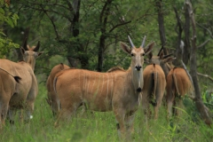 Livingstone Eland Stud Females